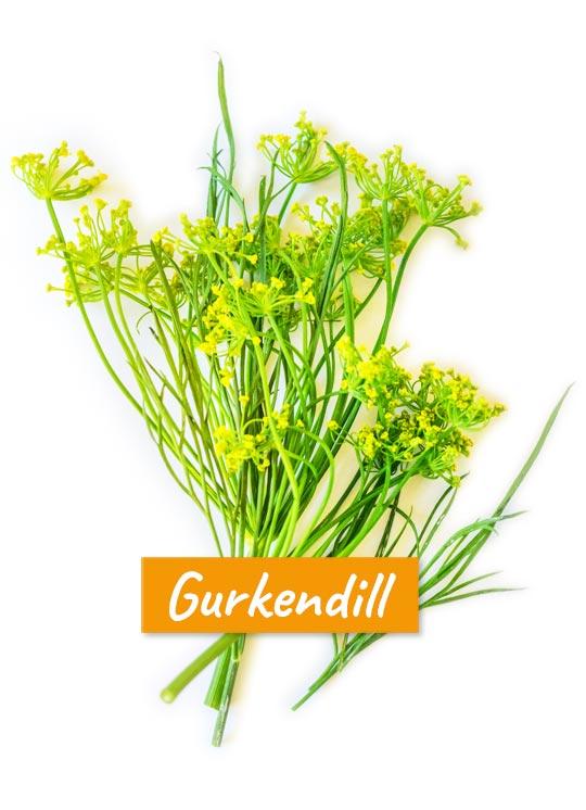 Dill (Gurkendill, Gurkenkraut) mit doppeldoldigen Blütenständen