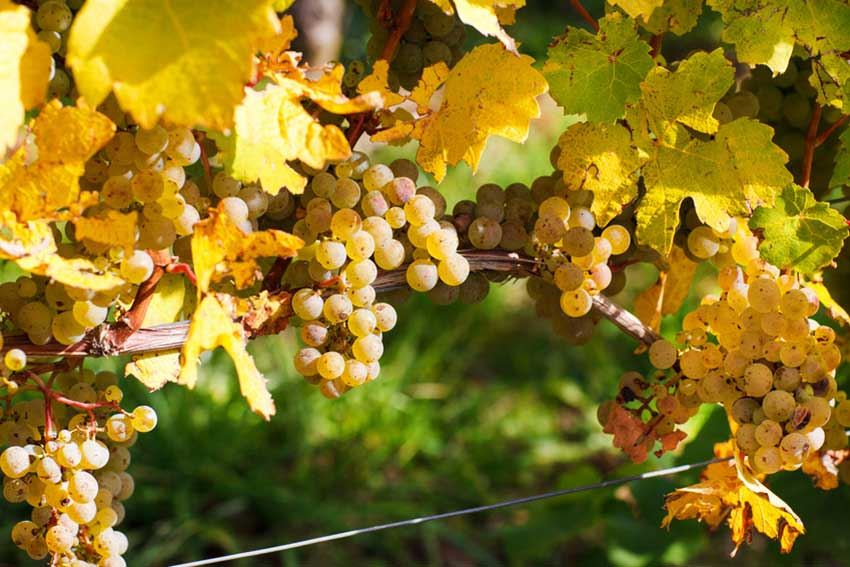 Fresh green and yellows grapes on bush. # 54643213 | © Irina Schmidt - Fotolia.com
