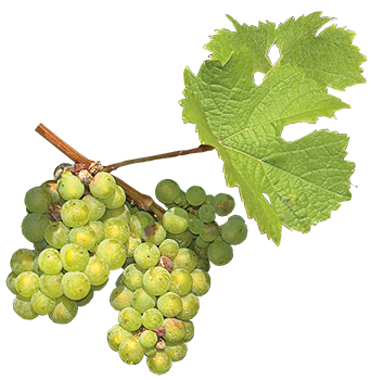 Riesling-Weinrebe