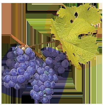 Spätburgunder-Rebe. Gernekochen - Mit Wein genießen